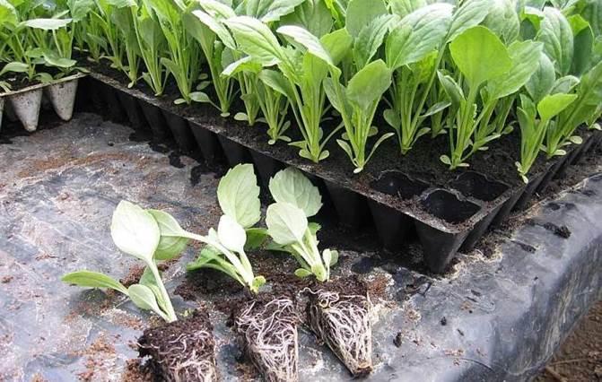Когда садить капусту брокколи на рассаду на урале 9